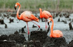 Flamingo (Phoenicopterus ruber) colony. royalty free stock photography