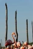 Flamingo (Phoenicopterus ruber) colony. Stock Images