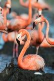 Flamingo (Phoenicopterus ruber) at nest. Royalty Free Stock Image