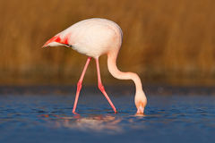 Flamingo, Phoenicopterus-ruber, Nizza rosa großer Vogel, Kopf im Wasser, Tier im Naturlebensraum, Camargue, Frankreich Lizenzfreie Stockfotografie