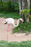 Flamingo (Phoenicopterus ruber). Walking slowly in garden Stock Image