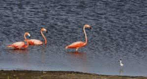 flamingo phoenicopterus ruber świetnie Obrazy Stock
