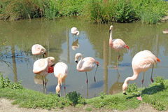 Flamingo. This photo shows some beautiful Pink Flamingos cooling off in a pond Stock Photography