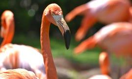 Flamingo , Oklahoma City Zoo. Flamingo, photographed at the Oklahoma City Zoo, Wildlife photo. Beautiful Orange plumage is amazing stock photo