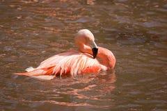 Flamingo Royalty Free Stock Photo