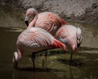 Flamingo, Pink Flamingos Royalty Free Stock Photos