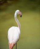 Flamingo pink Stock Images