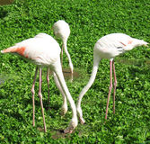 Flamingo. Pink flamingos search a meal in a lake in leaves Royalty Free Stock Images