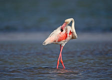 Flamingo. Pink İzmir GEDİZ dELTASI  Turkey Royalty Free Stock Image