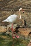 Flamingo Royalty Free Stock Images
