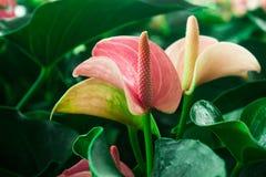 Flamingo Plant Stock Photo