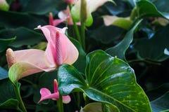 Flamingo Plant Stock Image