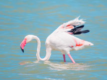Flamingo in the pond Stock Photography