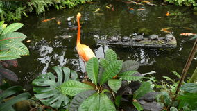 Flamingo, pond, fish, turtles. Tropical ecosystem orange flamingo pond stock video