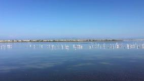 Flamingo in the Pond. Migration Season For Birds. stock video
