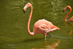 Flamingo in a pond Royalty Free Stock Image