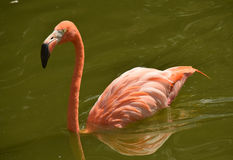Flamingo in a pond Stock Image