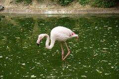 Flamingo in pond walking through stock image