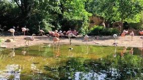 Flamingo por um lago que bebe e que está junto no jardim zoológico Hannover vídeos de arquivo