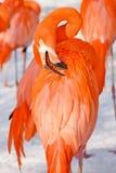 Flamingo portrai Stockbilder