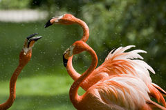 Flamingo Portrait Royalty Free Stock Photo