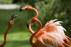 Flamingo-Portrait Lizenzfreies Stockfoto
