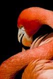 Flamingo portrait. Stock Images