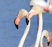 Flamingo portrait Stock Photography