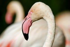 Flamingo Portrait. Image of pink flamingo shot as a portrait Stock Photo