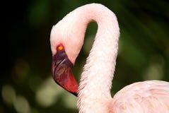 Flamingo-Portrait Lizenzfreies Stockbild