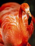 Flamingo portrait Royalty Free Stock Image