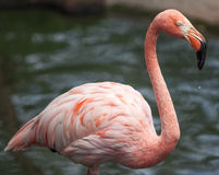 Flamingo portrait Stock Photo