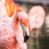 Flamingo Royalty Free Stock Photos