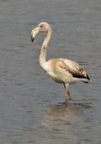 Flamingo portrait royalty free stock photography