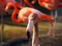Flamingo Portrait Stock Images