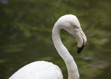Flamingo Portrait Royalty Free Stock Image