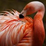 Flamingo stock photo