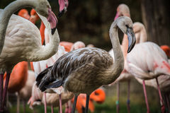 Flamingo portraits royalty free stock images