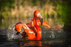 Flamingo portraits royalty free stock image