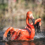 Flamingo portraits Stock Photography