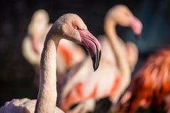 Flamingo portraits stock photo