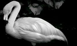 Flamingo-Porträt Stockbild
