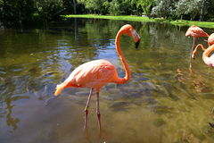 Flamingo pose3 Arkivbild