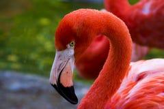 Flamingo poserar för profilfotografier Arkivbilder