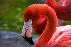 Flamingo Poses for Profile Photographs. Flamingo poses for cameras in the San Diego Zoo as hundreds of tourists visit Stock Images