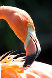 Flamingo Preening Stock Image