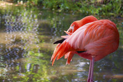 Flamingo Preening. Image of a flamingo preening his feathers. The bird is standing on two legs with its beak buried in its feathers Royalty Free Stock Image