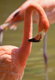 Flamingo Preening Stock Photography
