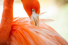 Flamingo preening Stock Photo