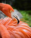 Flamingo preens feathers Stock Photo